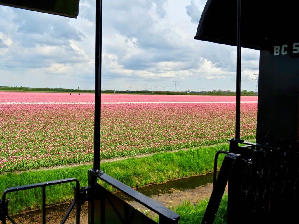チューリップ畑を走る汽車